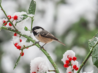 Coal tit (Periparus ater), Titmouse isolated, on the branch of holly with snow and red berries