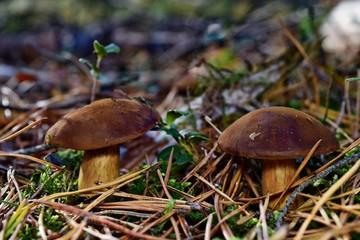 Xerocomus badius mushrooms