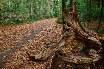 Ein vom Blitz abgeschlagener Baumstamm, Der Waldweg ist mit Laub geschmückt, Die Bäume tragen noch grüne Blätter. Goldener Herbst im Gremberger Wäldchen - Köln/Deutschland