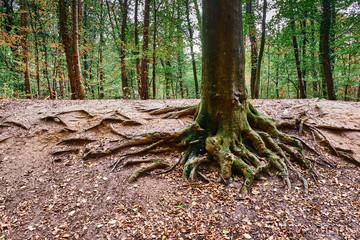 Aus dem Boden herausragende Baumwurzeln eines Baumstammes im Wald während der Herbstzeit. Gremberger Wäldchen in Köln/Deutschland