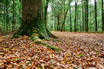 Ein mit Moos geschmückter Baumstamm am Waldweg, Das bunte Laub bedeckt den Weg. Goldener Herbst im Gremberger Wäldchen - Köln/Deutschland