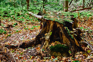 Abgesägter Baumstamm mit Moos bewachsen. Der Fokus liegt auf dem Baumstamm. Goldener Herbst im Gremberger Wäldchen - Köln/Deutschland