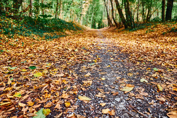 Waldweg im Herbst aus der Insektenperspektive. Der Weg ist verziert mit gefallenen braunen Blättern. Am Straßenrand sind die Bäume noch überwiegend grün. Gremberger Wald in Köln / Deutschland.