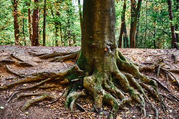 Aus dem Boden herausragende Baumwurzeln eines Baumstammes im Wald während der Herbstzeit. Der Fokus liegt auf den Wurzeln und dem Baumstamm. Gremberger Wäldchen in Köln/Deutschland