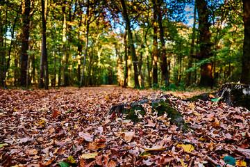 Gremberger Wäldchen in Köln - Herbstzeit im Wald, der Weg ist mit bunten Blättern geschmückt, der Fokus liegt auf der mit Moos bewachsenen Baumwurzeln