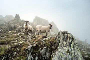 sheep in the mist on a mountain peak in the berner alps, grimsel, sidelhorn, switzerland
