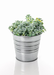 Sedum Spathulifolium plant in a metal pot