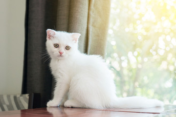 Cat scottish white fluffy cute little animal looking something