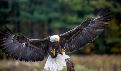Wall Mural - Bald Eagle Landing