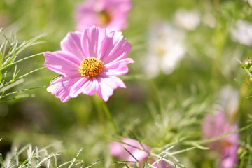 cosmos flower in nature background