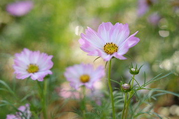 cosmos flowers in garden and sunset on natural background