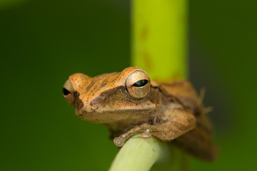 Beautiful Frog at Borneo, Frog