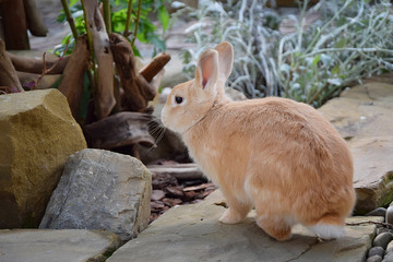 red rabbit walks freely down the street.
