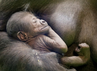 Western lowland gorilla Kira holds her newborn baby in its enclosure at the Moscow Zoo in Moscow