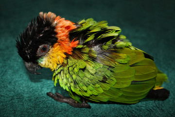 Sick parrot with ruffled feathers sitting on floor
