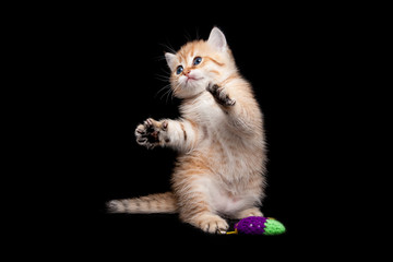 Kitten playing standing on its hind legs, red playful kitten funny standing on its hind legs next to the toy on a black isolated background, cute Golden British kitten.