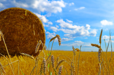 Cornfield with wheat a straw bale and bright blue sky and ears of wheat