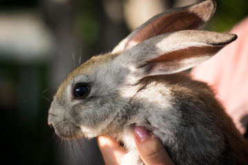gray rabbit in the hands of a girl
