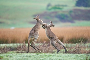 Eastern Gray Kangaroo (Macropus giganteus), Males fighting on a meadow, Great Otway National Park, Victoria, Australia, Oceania