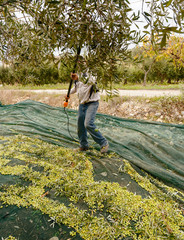 Olive harvest in October in Sicily.
