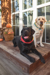Two cute Labradors sit on the porch of a country house surrounded by wicker baskets with pumpkins and autumn leaves. Autumn landscape in the open air.  Halloween and Thanksgiving decoration.