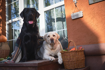 Two beautiful Labradors, black and white, sit side by side on the porch of a village house surrounded by wicker baskets
