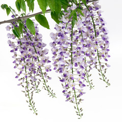 Violet flowers of wisterias on white backgrounds.