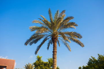palm tree in nature with clear blue sky
