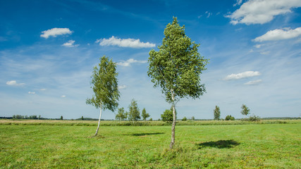 Birch in the meadow, horizon and clouds on a blue sky