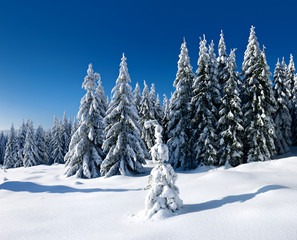 Untouched Winter Landscape, fir trees completely covered by snow, bright sunshine, blue sky