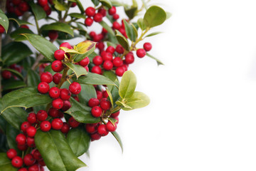 Holly tree with ripe red berries isolated on white background. Ilex cornuta bush in winter
