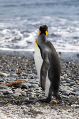 King Penguin looks out to sea in Salisbury Plain on South Georgia in Antarctica