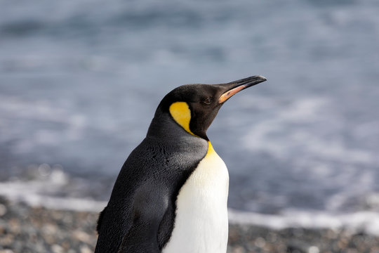 Close-up of a King Penguin in Salisbury Plain on South Georgia in Antarctica