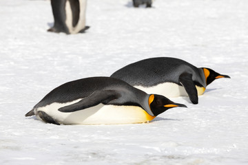 two king penguins have laid to rest on Salisbury Plain on South Georgia in Antarctica