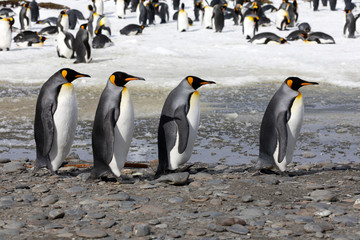 Four king penguins walk in a row on Salisbury Plain on South Georgia in Antarctica
