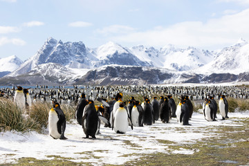 Keuken foto achterwand Antarctica A colony of king penguins on Salisbury Plain on South Georgia in Antarctica