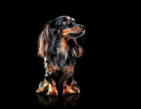 Long haired dachshund is a black studio looking to the side