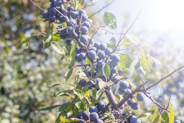 wild plum on a branch