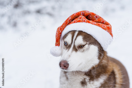 Portrait of Siberian Husky dog wearing santa hat in the
