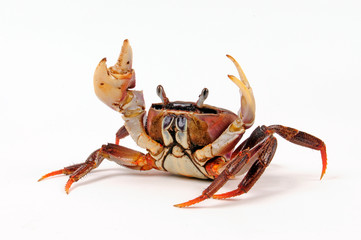 Riesen-Landkrabbe (Cardisoma carnifex) - giant land crab