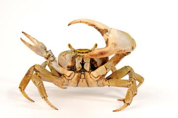 Westatlantische Landkrabbe (Cardisoma guanhumi) blue land crab
