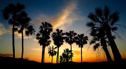 black palm silhouettes and sunset sky with colors contrast