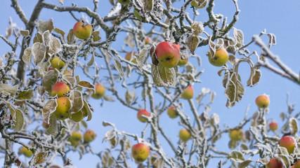 Bunte Äpfel am Winterbaum