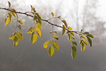 Wildrosenblätter im Herbstlicht