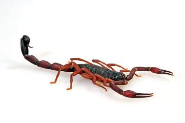 Kleiner Texasskorpion (Centruroides gracilis) - bark scorpion
