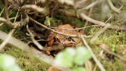 Grasfrosch im Unterholz