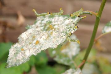 Larven der Breitfüßigen Birkenblattwespe