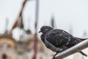 Pigeon on a balustrade in Piazza San Marco, Venice, Italy
