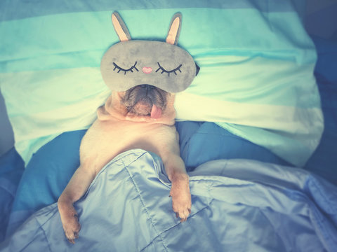 Cute pug dog sleep rest with funny mask in the bed, wrap with blanket and tongue sticking out in a lazy time