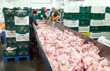 The meat factory. chicken on a conveyor belt.
